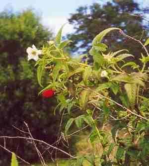 Native raspberry