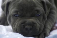 Blue Nose Pitbull Puppies For Sale | Coyote Pitbulls