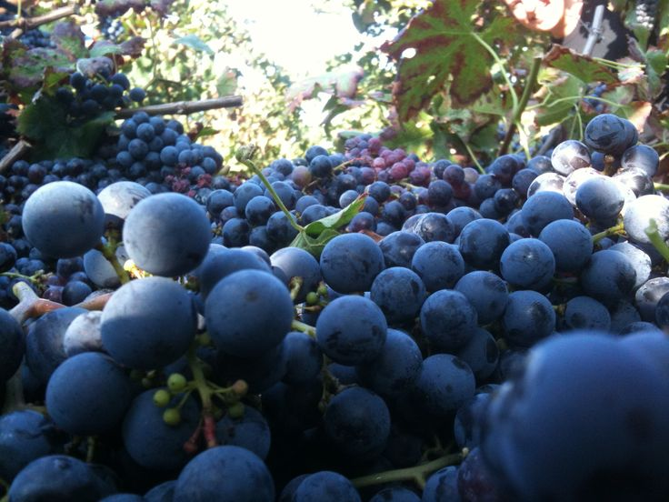 #grapes of #Cabernet photo by Eleonora Minello TEMPO DI #VENDEMMIA #HARVEST TIME