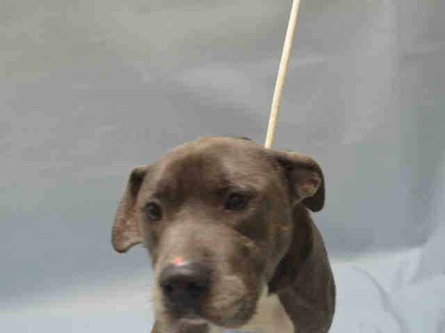 Brooklyn Center SAM SPADE – A1093083 MALE, GRAY / WHITE, AM PIT BULL TER MIX, 9 mos STRAY – STRAY WAIT, NO HOLD Reason STRAY Intake condition EXAM REQ Intake Date 10/11/2016, From NY 11213, DueOut Date 10/14/2016,