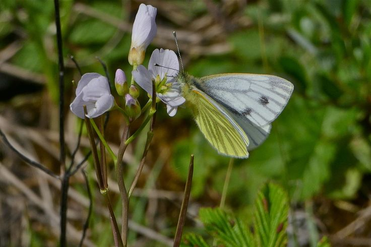 Cuckoo-flower with Green-veined White Butterfly.