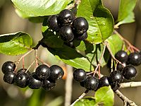 Arónie, sladká a zdravá: pěstování, sklizeň, sirup, víno, marmeláda…
