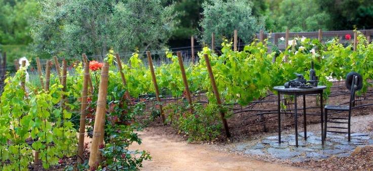 Pin by Kathleen Vizard on backyard vineyards  Pinterest