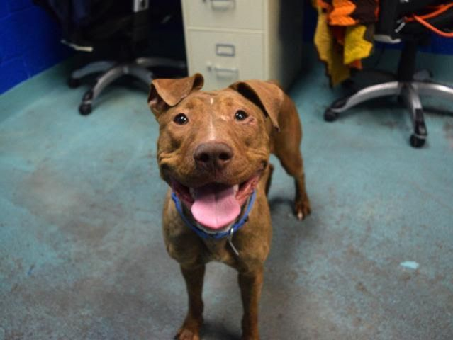 CINNAMON - A1100658 - - Brooklyn  TO BE DESTROYED 01/08/17 **ON PUBLIC LIST** -  Click for info & Current Status: http://nycdogs.urgentpodr.org/cinnamon-a1100658/