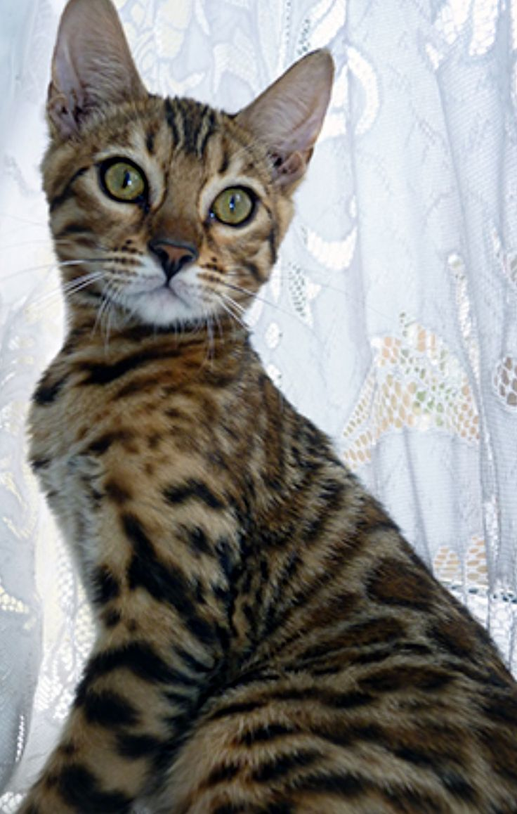 369 best I love Bengal Cats images on Pinterest