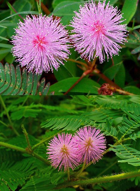 Touch me not plant (Mimosa pudica) also called sensitive plant, sleepy plant, Dormilones or shy plant) is a creeping annual or perennial herb. The compound leaves fold inward and droop when touched or shaken, defending themselves from harm, and re-open a few minutes later. The species is native to South America and Central America. Watch this interesting short video: https://www.youtube.com/watch?v=g0LFBM3hOLs