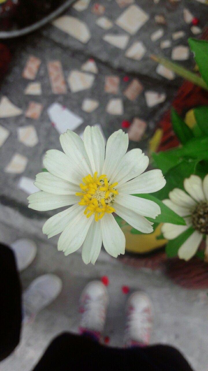 Seperti Bunga Krisan Peaceminusone Tanaman Bunga Desain
