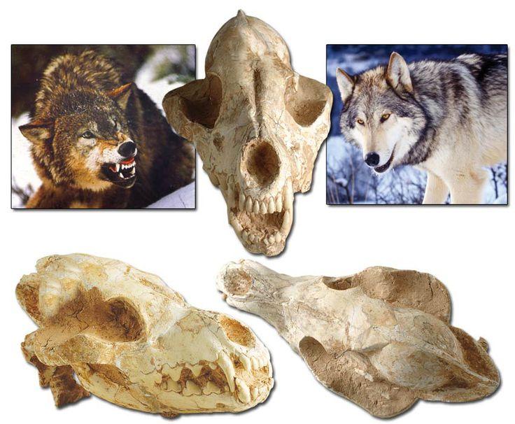 75 MİLYON YILLIK KURT KAFATASI http://dusuneninsanlaricin.com/evrimi-curuten-50-fosil/
