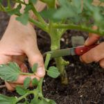 Чем подкормить рассаду помидор чтобы были толстенькие: народными средствами