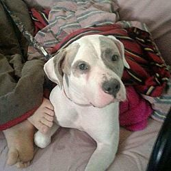 Pictures of Sally a Pit Bull Terrier for adoption in New York, NY who needs a loving home.