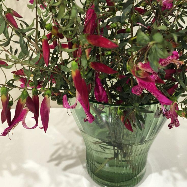 Natives- fuscia flowers