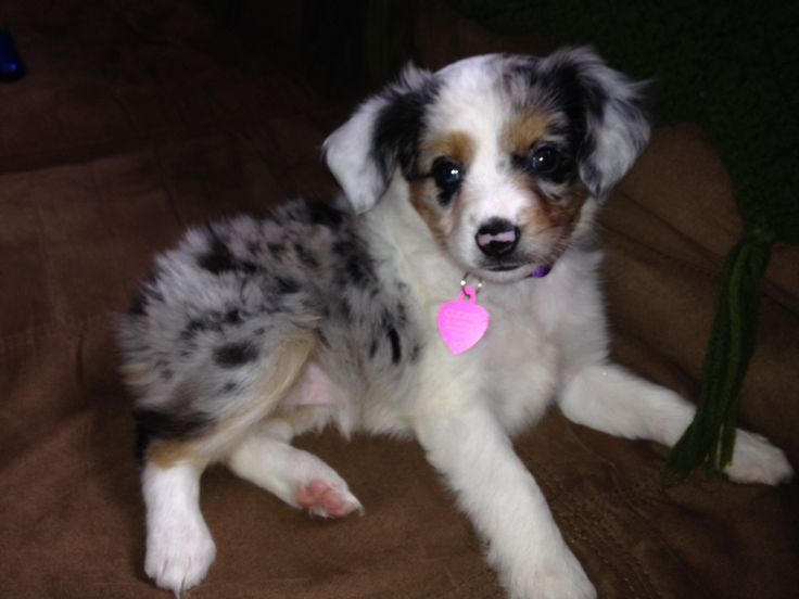 Our Mini Australian Shepherd puppy Maggie