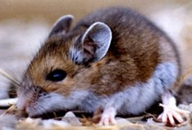 Get an effective Mice control treatment in Fdmonton from Ecopest, that helps you in detecting & catching Mice in Edmonton. Call us at 780-448-2661 to get a quote.	 			 https://goo.gl/LVJXiN