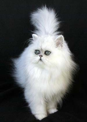 Chinchilla and Shaded Silver Persian Cats and Kittens