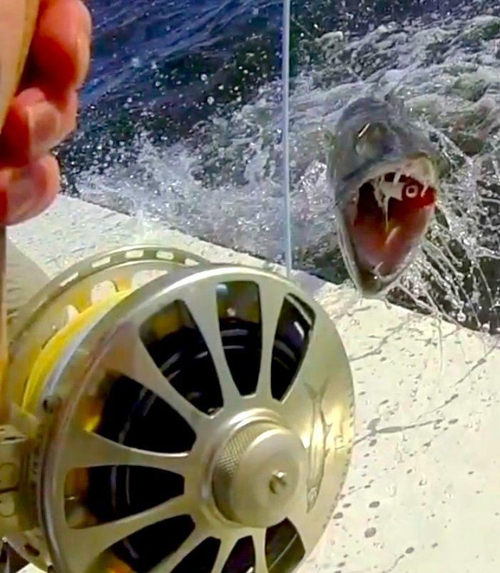 Barracuda attack!