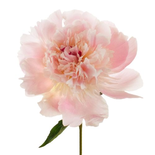 Image result for PEONY ALERTIE