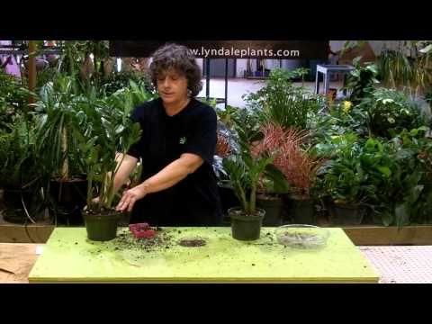 Tech Talk with Lee Newton - Zamioculcas (zz) - YouTube