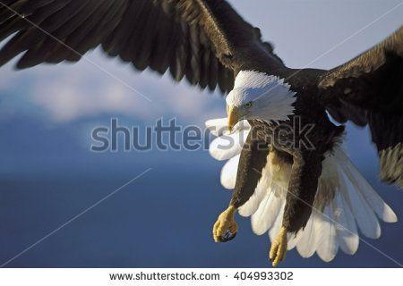 Free Image on Pixabay - Bald Eagle, Bird, Albuquerque Zoo