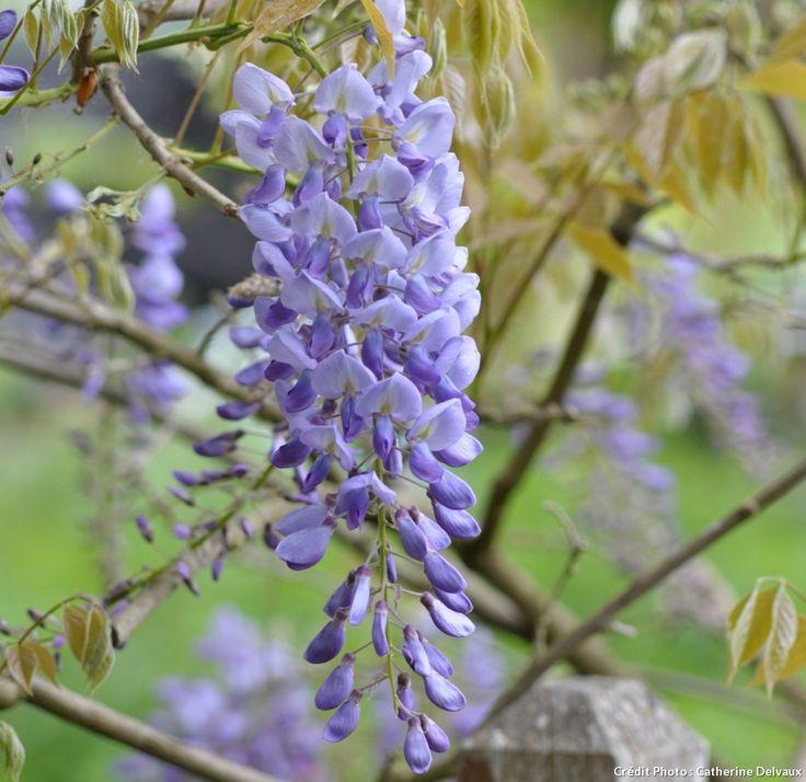 les 25 meilleures id es de la cat gorie glycine sur pinterest glycines arbre en fleurs violet. Black Bedroom Furniture Sets. Home Design Ideas