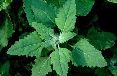 La nature recèle des merveilles peu exploitées. L'une d'entre elles: lesplantes sauvages. Autrefois utilisées encuisine, elles ont pratiquement disparues de notre consommation. A la portée de tous, celles-ci offrent pourtant de nouvelles saveurs variées. En voici douze à tester encuisine. L'amarante réfléchie: Ses jeunes feuilles sont délicieuses crues en salade ou cuites à la façon …