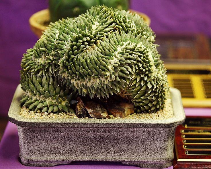 Ariocarpus retusus, Best Crest - Flickr - Photo Sharing!