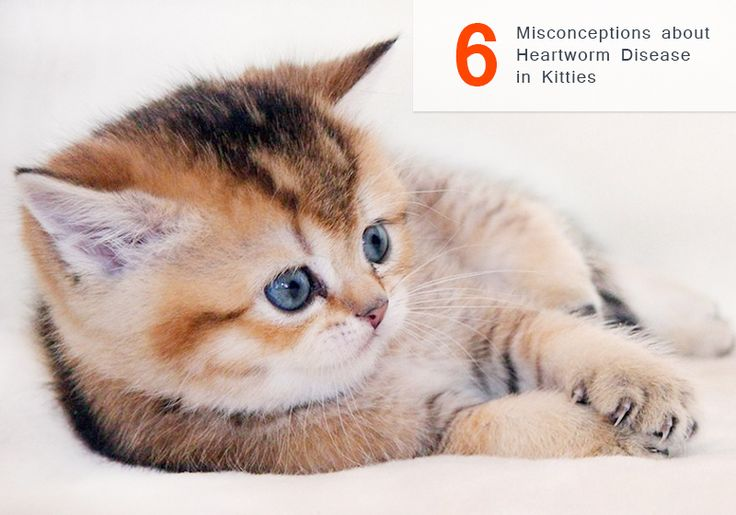 6 #Misconceptions About #Heartworm Disease In #Cats -