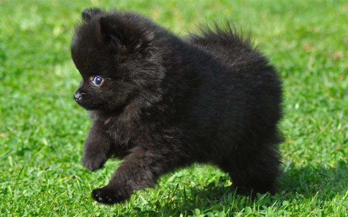 Download wallpapers black spitz, puppy, black pomeranian, puppies, dogs, pomeranian, cute animals, spitz