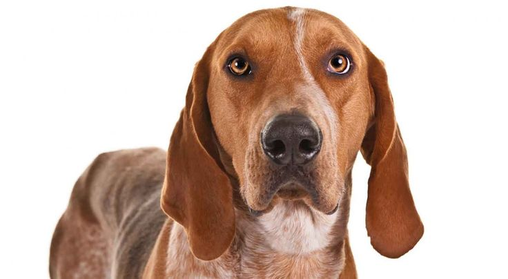 American English Coonhound: Sweet, Mellow, Sociable.