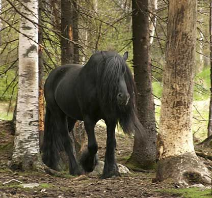 Black North Swedish Draft Horse - first of all, this is an awe-inspiring animal, but secondly... Totally Snape's animagus.