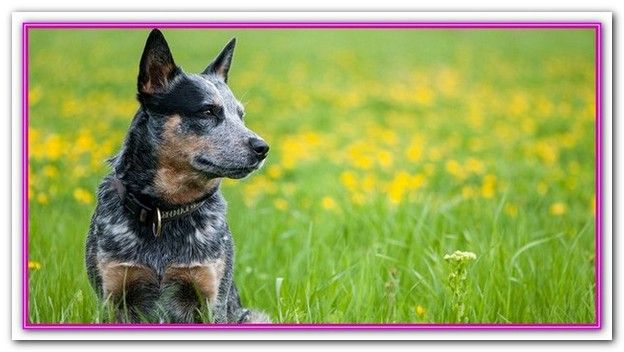 Best Dog Food For Price Australia Cattle Dog American Cattle Dog Cattle Dog Puppy