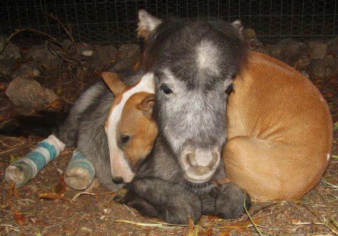 My burro....what a sweet bull terrier