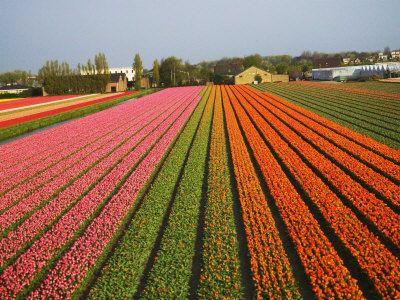 Champs de tulipes, Leiden