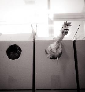 Rescued chicken. ( blog.farmusa.org )