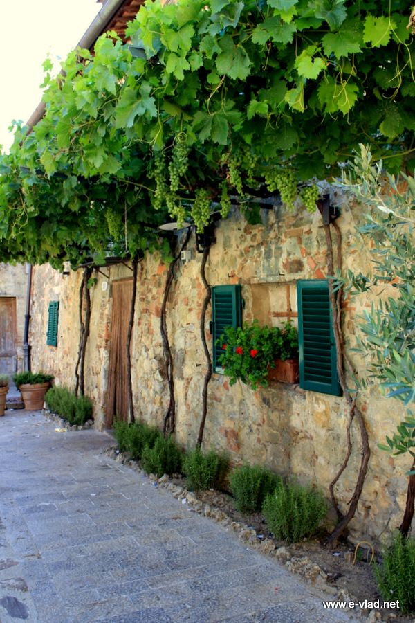Monteriggioni, Italy - Grape vines growing on old homes.