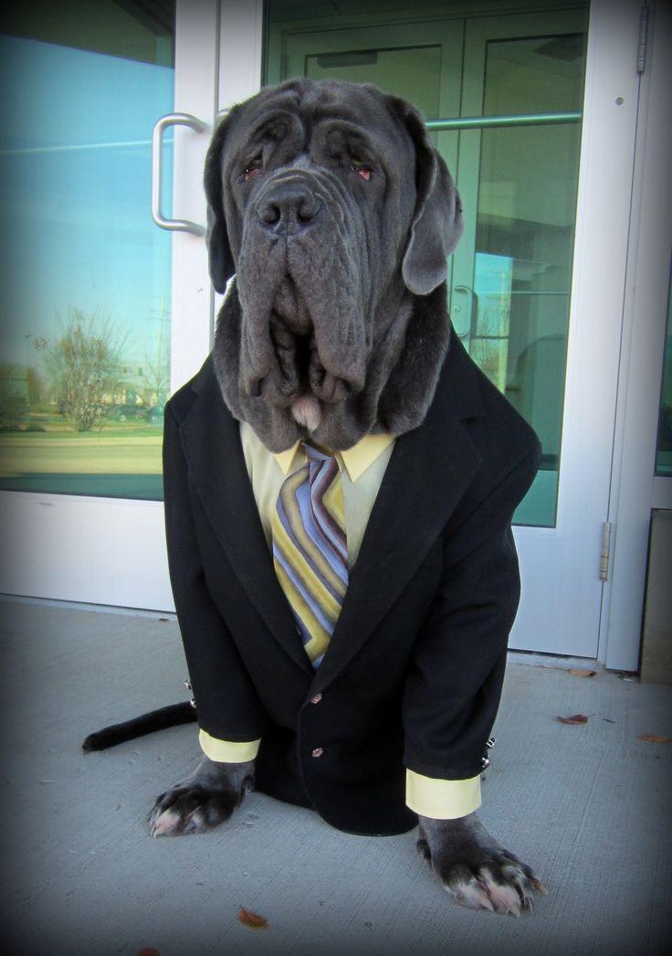 GQ Neopolitan Mastiff