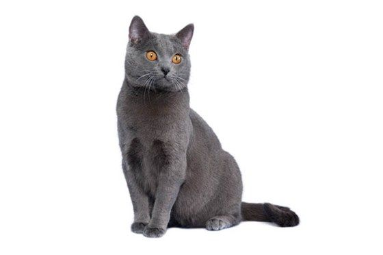 Find the Best Cat Breed for You - Purina®