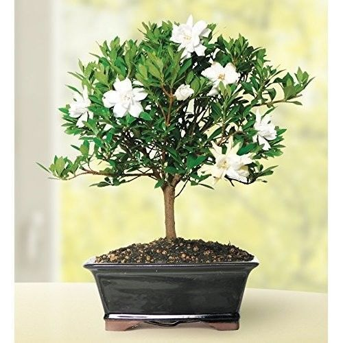 Gardenia Bonsai Tree Plant Blooms 6 Years Full White Flowers Garden Hooseplan #GardeniaBonsaiTreePlant