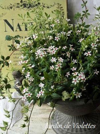 かわいらしいニチニチソウの魅力があふれる寄せ植え。 つる植物の使い方も参考にしたいです。