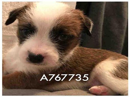 Austin Tx Jack Russell Terrier Meet Bert A Dog For Adoption