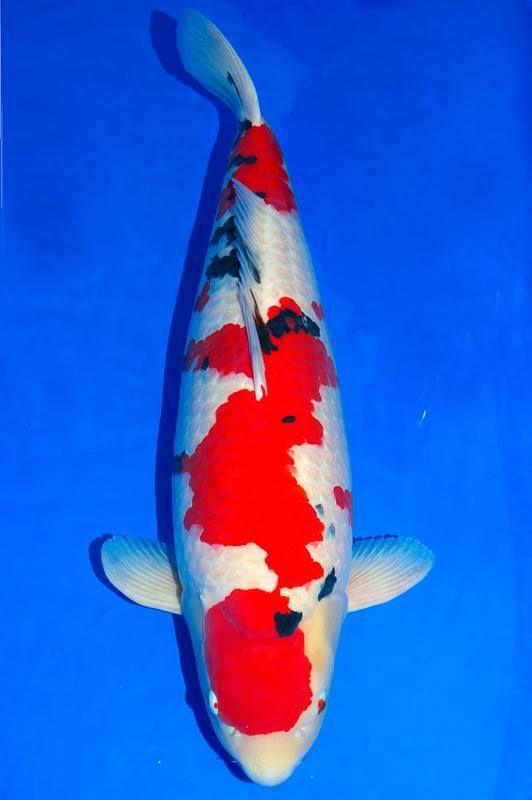13 best nishikigoi variety taisho sanke images on for Live japanese koi fish for sale