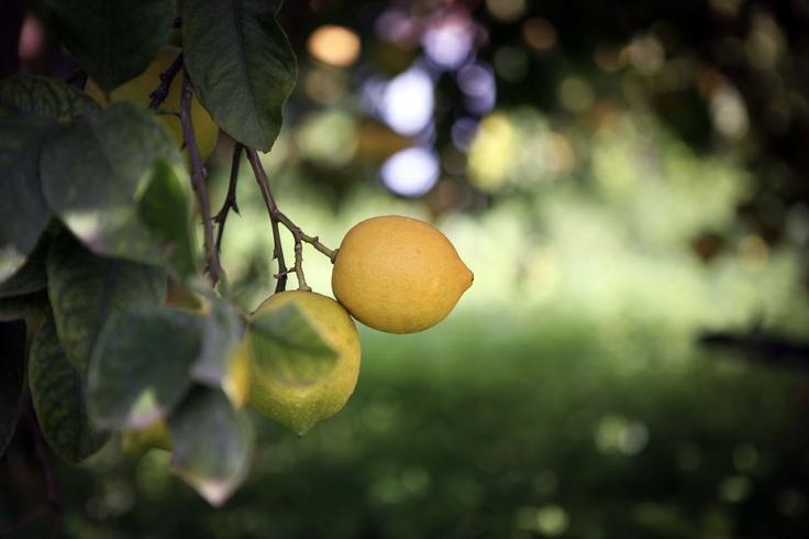 """Limone di Siracusa Igp - Varietà """"Femminiello Siracusano"""".    Ph. Viola Berlanda"""