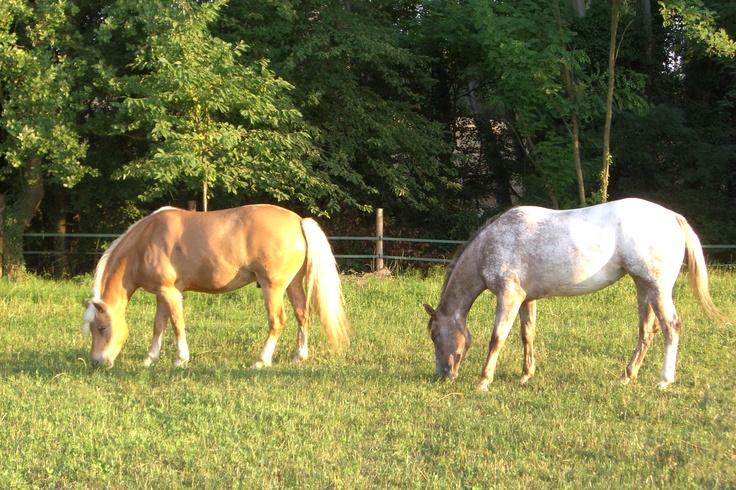 Possibilità di passeggiate a cavallo e primi avvicinamenti con questi bellissimi e docili cavalli.