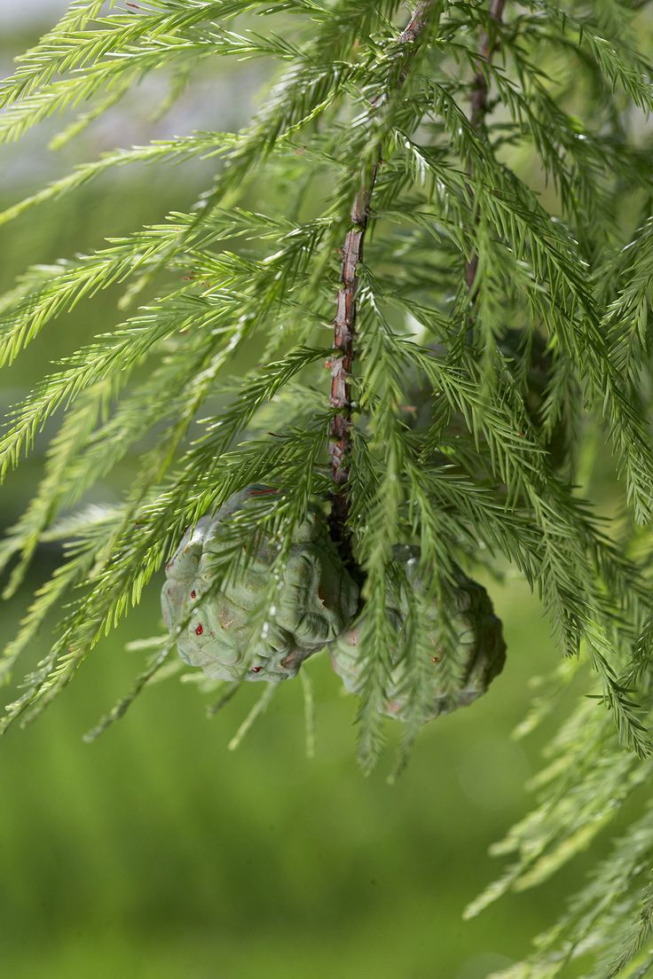These FastGrowing Trees Naturally Boost Privacy in Your