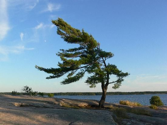 love this tree remindes me of the tree I love in Maui.  Killbear Ontario prov.park