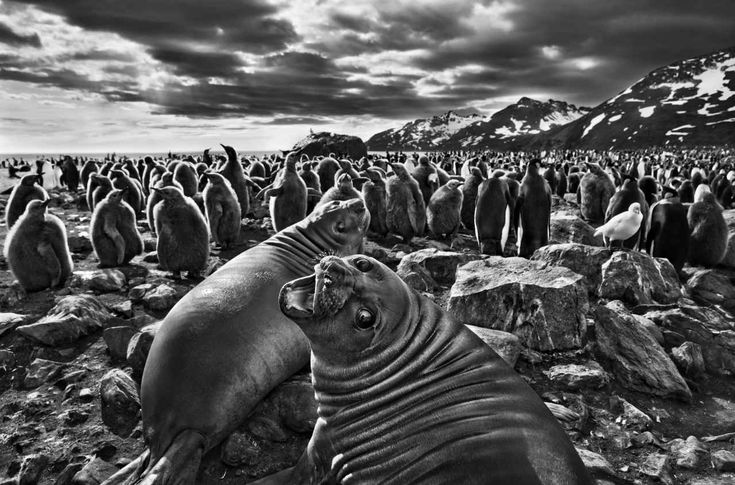 The legendary Brazilian photographer Sebastião Salgado spent much of the past nine years trekking to the last wild places on earth to take the pictures collected in his new photography book, Genesis. Description from lightbox.time.com. I searched for this on bing.com/images