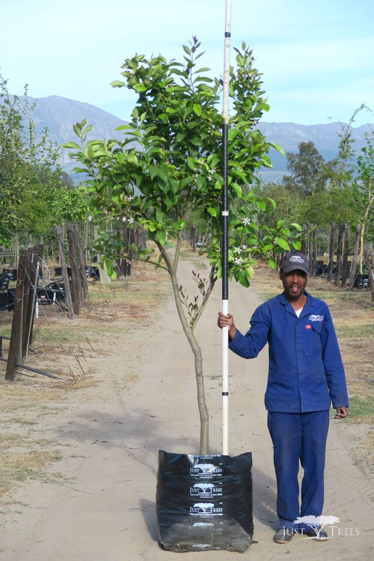 100L Eureka Lemon, a medium-sized evergreen tree that grows a popular type of lemon with a tart, juicy pulp. Easy to cultivate, it makes an attractive addition to any landscape.