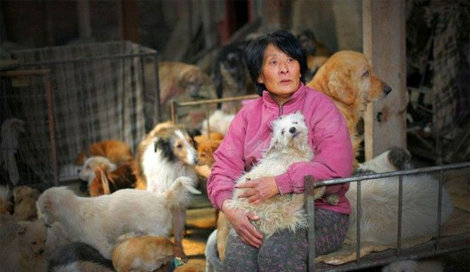 Yang Xiaoyun, 65, paid approximately 7,000 yuan ($1,100 USD) to save around 100 dogs in the City of Yulin on Saturday, reports AFP. The animal rights activist says she plans to rehouse the dogs at her home in Tianjin, which is over 120 miles away from where the festival takes place. The former schoolteacher saved 50,000 yuan (over $8,000 USD) and traveled over 1,600 miles in an attempt to save as many dogs as she could from the 2015 Yulin Dog Meat Festival.