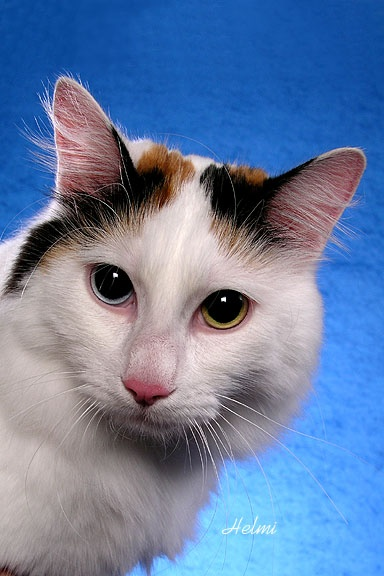 Odd Eye Calico Turkish Van   Cats & Kittens   Pinterest