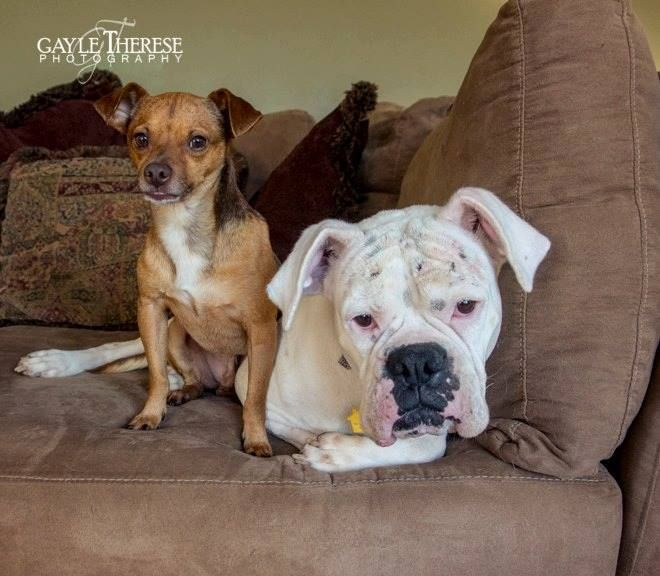 "A bonded ""odd couple,"" is desperate for a home where they can live out their lives together. According to the Forgotten Pet Advocates, the dogs, Mia (boxer) and Rudy (Chihuahua), adore one another and if at all possible, they should be placed in a home together. The animal welfare group explains: Although we know the …"
