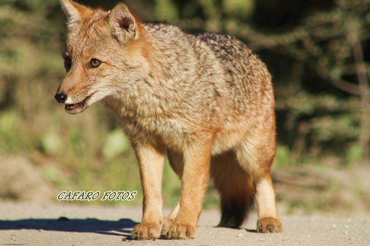 Zorro Rojo.Parque Nacional Ushuaia